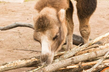 chomp: Camel gnawing a bark of trees