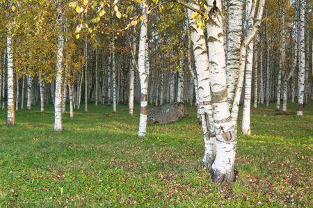 Autumn landscape. Birchwood a close up photo