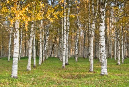 Autumn landscape. Birchwood a close up Stock Photo - 8103843