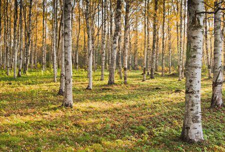 Autumn landscape. Birchwood a close up Stock Photo - 8103851