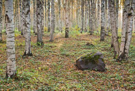 Autumn landscape. Birchwood a close up Stock Photo - 8103840