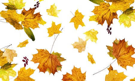 The autumn fallen down leaves it is isolated on the white