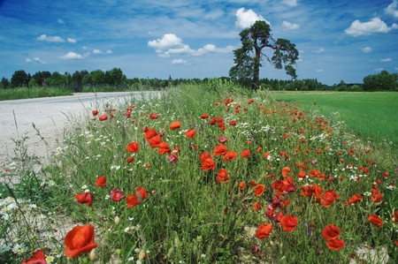 The picturesque dark dark blue sky with clouds a meadow and blossoming red poppies in the foreground. photo