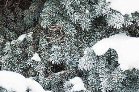 The branches of a fur-tree covered by hoarfrost, background photo