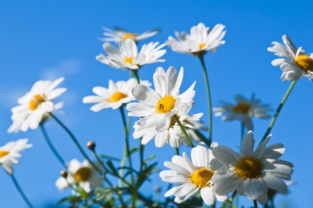 Field chamomile flower against the blue sky photo
