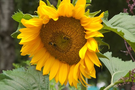 Bees on a flower of a sunflower photo