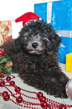 The small puppy of a poodle with New Years gifts photo