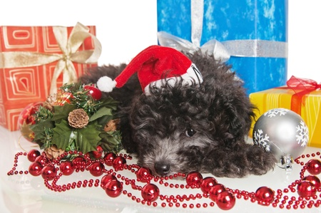 The small puppy of a poodle with New Year's gifts Stock Photo - 8348340