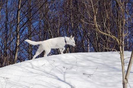 huskys: white puppy