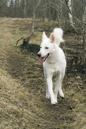 huskys: White dog running on a wood