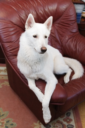 White dog in a house armchair photo