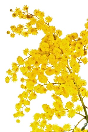 Blossoming branch of a mimosa, it is isolated on white Stock Photo - 9138430