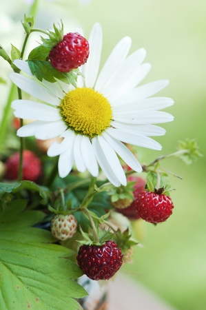 Bouquet from a camomile and wild strawberry photo