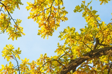 branches of the oak in autumn in the sky Stock Photo - 10779503