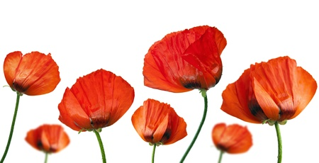 Red poppies after a rain, it is isolated on white photo