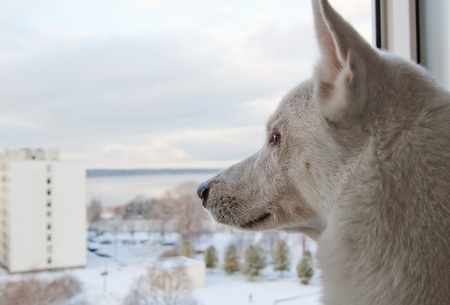 White dog looks out the window  photo