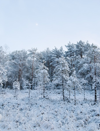 winter landscape in the forest photo