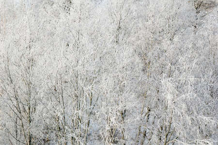 흰 서리: Branches of trees in hoarfrost, a close up 스톡 사진