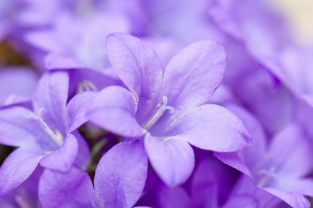 flor violeta: campanilla azul, un primer plano