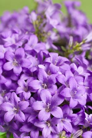 flor morada: campanilla azul, un primer plano