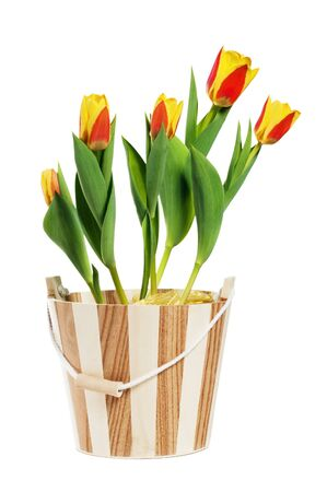 It is red yellow tulips in a bucket, it is isolated on white photo