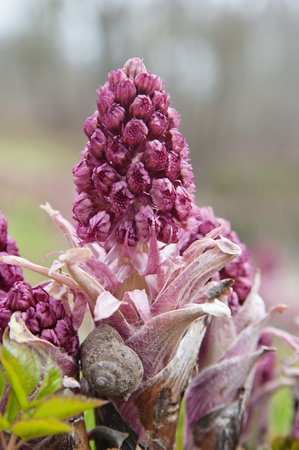 Blooming butterbur  Spring landscape near the pond Standard-Bild