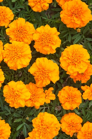 Beautiful orange chrysanthemums, the top view photo