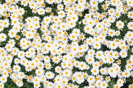Background from beautiful white camomiles photo