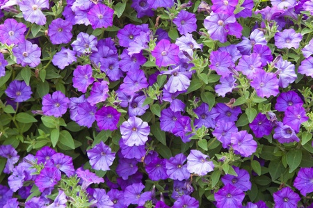 garden center: Background from beautiful dark blue flowers Stock Photo