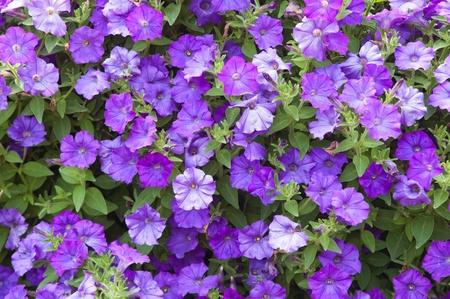 Background from beautiful dark blue flowers Stock Photo