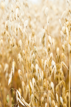 oat plant: Ripening in a field of an oats, a close up