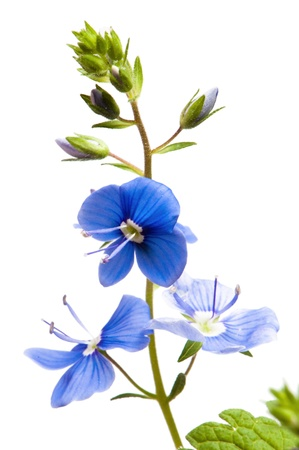 stem: Flor azul oscuro campo, se encuentra aislado en blanco Foto de archivo
