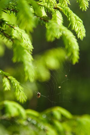 wood spider: Branch of a fur-tree, close up