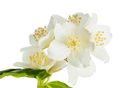 Flowers of a jasmin, close up Stock Photo