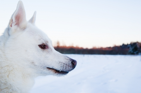 Portrait of a white dog in winter in a wood photo