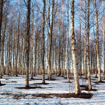 Spring landscape in a birchwood photo