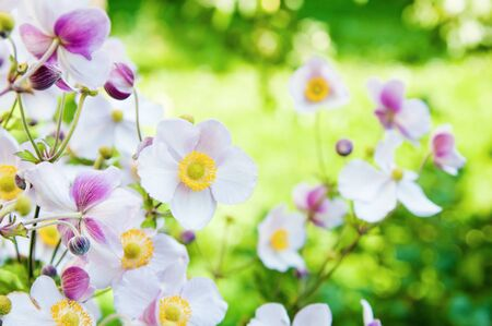 Beautiful flowers in the garden  Anemone japonica photo