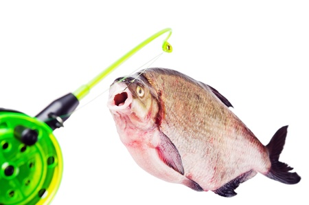 Bream on the hook is isolated on a white background Stock Photo - 18386583