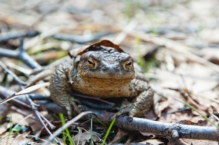 woken: The toad who has woken up after hibernation