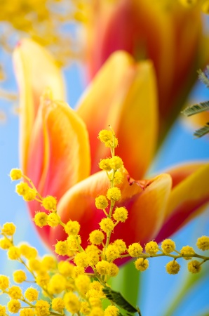 Spring bouquet with a mimosa and tulips Stock Photo - 18386547