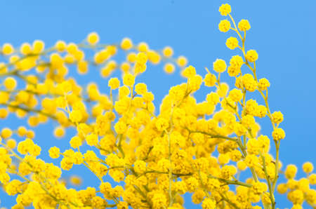 blossoming mimosa, a close up Stock Photo - 18386544