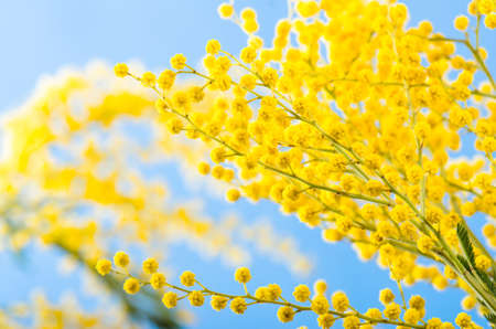Spring bouquet with a branch of a blossoming acacia tree Stock Photo - 18386530