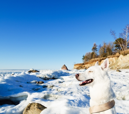 White Husky amid the winter coast of the Sea photo