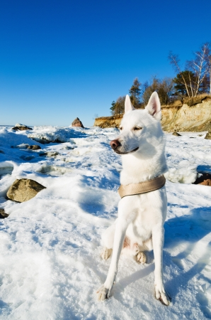 White Husky amid the winter coast of the Sea Stock Photo - 18708687