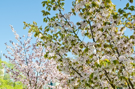 Oriental cherry blossoming in spring park photo