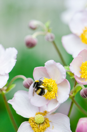 collects: a bee collects pollen from flower, close-up Stock Photo