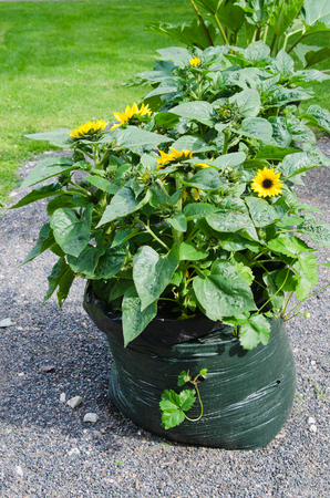Sunflowers grow in a bag from under garbage photo