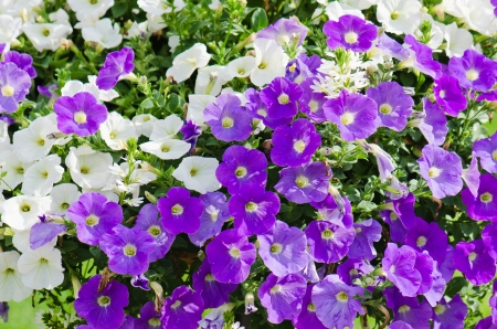 Beautiful white and purple petunia flowers close up photo
