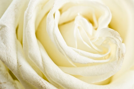 funeral background: Petals of a white rose a close up Stock Photo