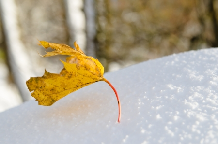Yellow maple leaf on snow, close-up photo